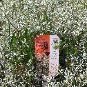 Image of Euphorbia 'diamond Frost'