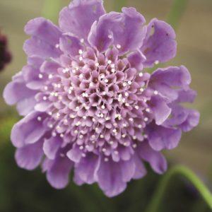Image of Scabiosa Columbaria 'Mauve Delight'