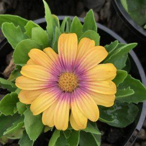 Image of Osteospermum 'Blushing Beauty'