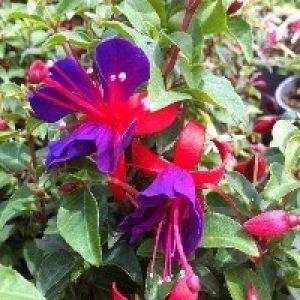 Image of Fuchsia 'Shadow Dancer'®