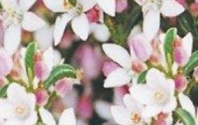 Eriflo15 Philotheca Flower Girl Eriostemon Faceys Nursery